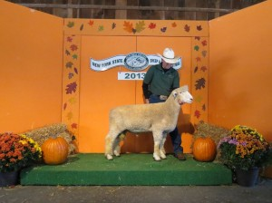Anchorage 1115-13 Sup. Ch. white ram, NYS Sheep and Wool Festival 2013