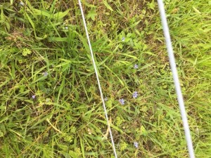 2019 blue eyed grass under fence