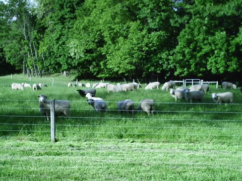 Early summer pasture