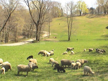 Hill pasture, springtime