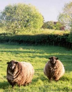Natural-colored Romneys in Devon, England