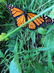 monarch just out